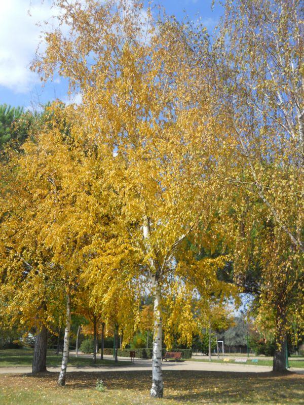 Abedules en otoño 3