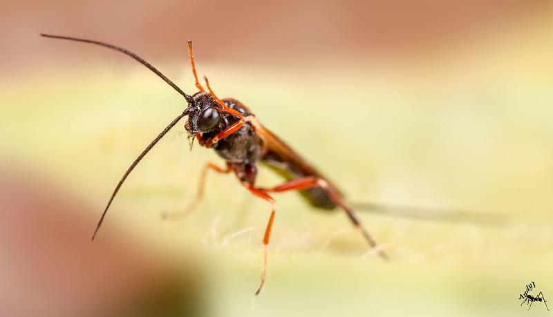 Parasitic-wasp2