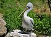 Pelecanus crispus - Dalmatian pelican -  Pélican frisé - 22/06/09 by Philippe_Boissel