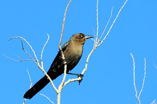Great-tailed Grackle, female | by birding4ever