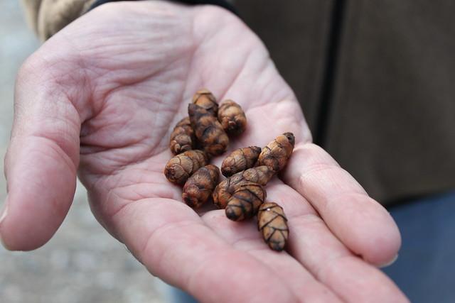 Tiny Hemlock Pinecones...