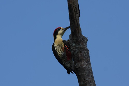 Beautiful Woodpecker (Melanerpes pulcher) El Paujil Nature Reserve | by Alonso Quevedo Gil