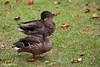 Koloa Maoli, Hawaiian Duck, Anas wyvilliana 4 by Harold Stiver