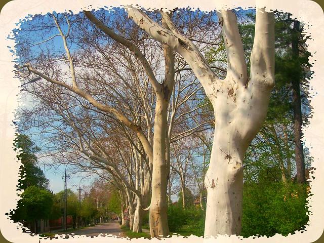 Beautifil (platan) tree on my weekend road -Mátyásföldi  platánfák
