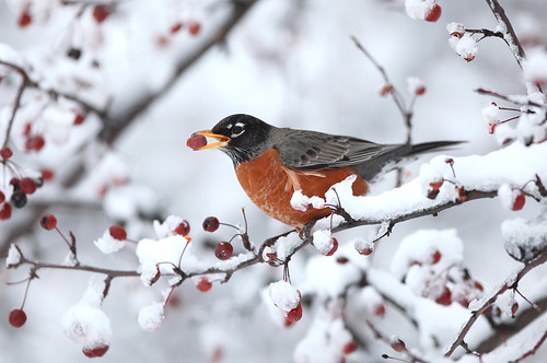Robin in snow | by cberginphoto