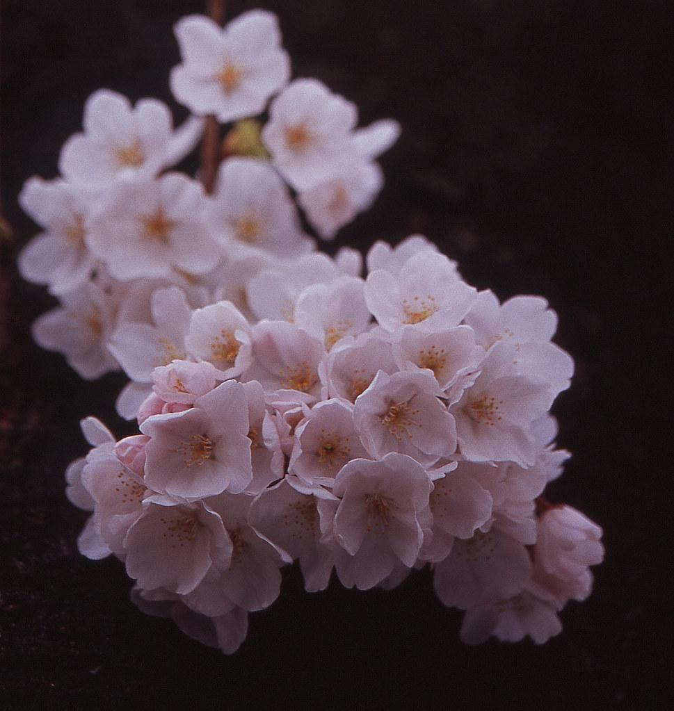 神田川 Cherry by arapy