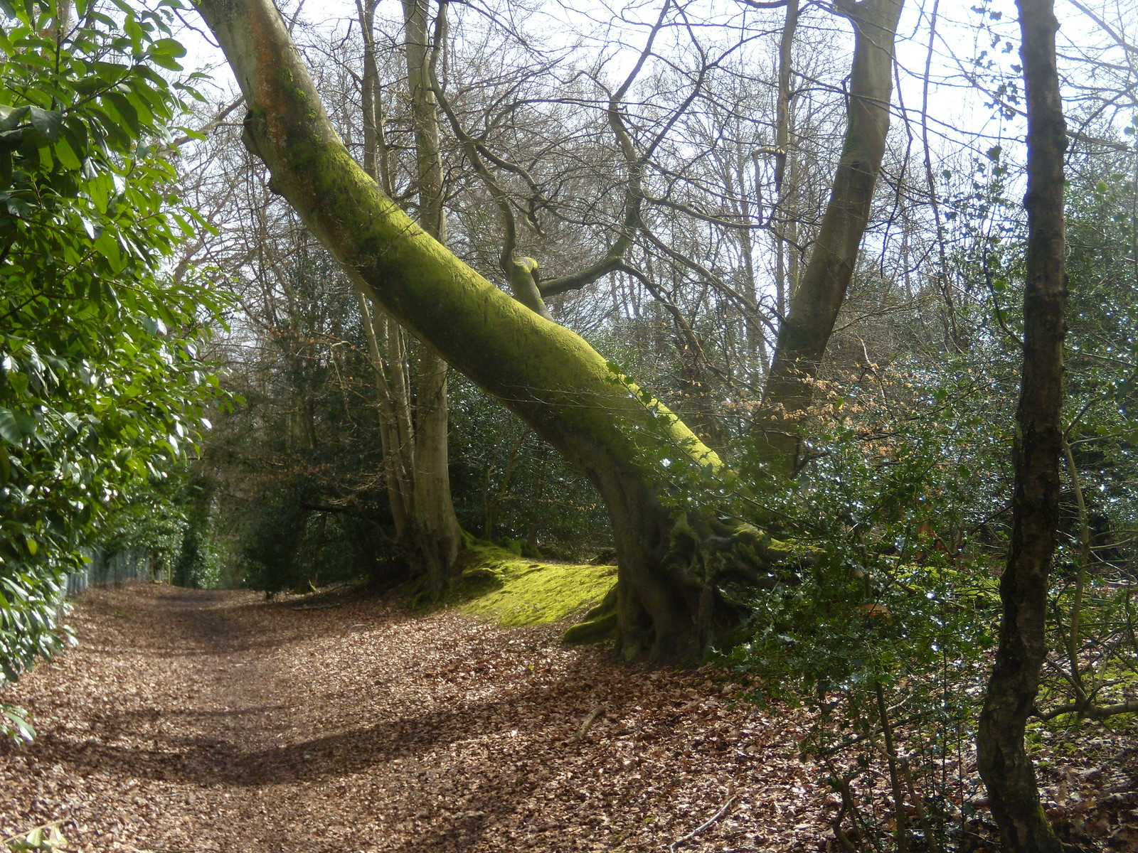 Big tree Farnham Circular