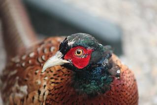 Pheasant | by A. v. Z.