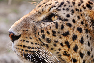 Profile of the male leopard | by Tambako the Jaguar