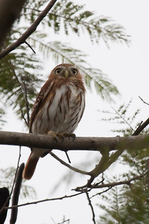 Pacific Pygmy-Owl 301V2362-6.jpg | by BobLewis