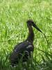 gaban pionio, juvenil (Maguari Stork). by C.A.Villalba