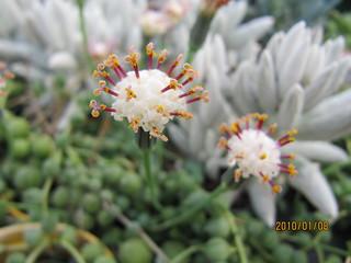 Senecio rowleyanus | by wallygrom