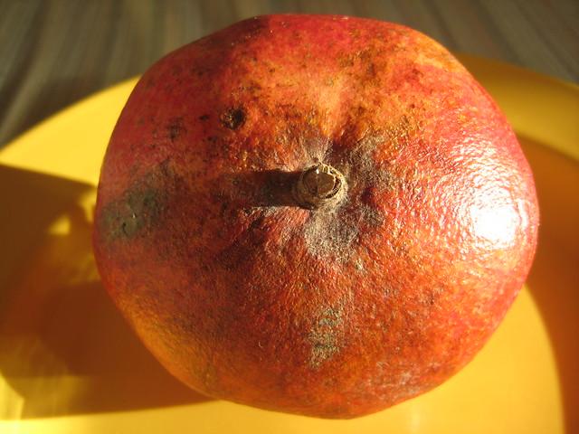 Punica granatum 'Hicaz' (Pomegranate) - bottom frt Calandstr, Leiden, NL 7 Mar 2010 Leo