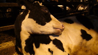 Cull dairy cow at auction in Ontario