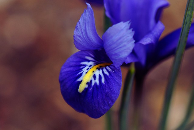 Image result for spring iris