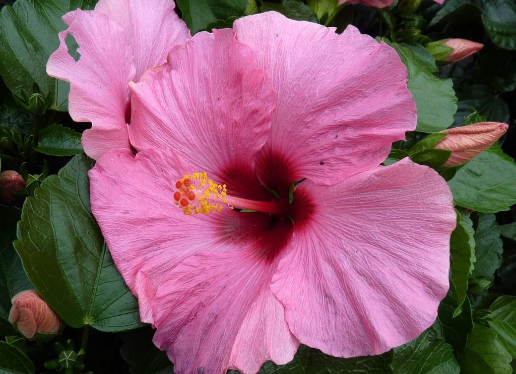 Hibiscus Rosa Sinensis China Rose Hibiscus Rosa Sinensis Flickr