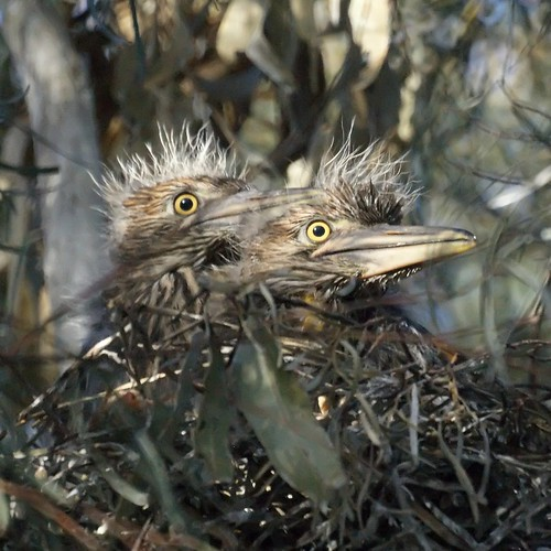 Black-crowned Night Heron Chicks | by Mike's Birds