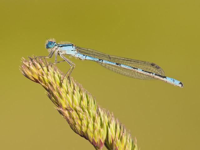 Common Blue Damselfly on grass seed head