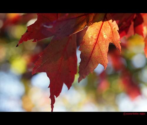 "autumn red sunlight tree fall nature leaves bokeh glencoe chicagobotanicgarden thegalaxy flickraward thebestshot flickraward5 flickraward10 ""flickrawardgallery"""