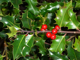 Holly plant delight | by 4nitsirk