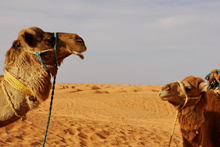 Camels Hanging Out | by goingslowly