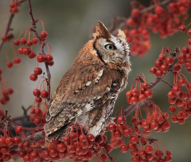 Eastern Screech Owl On Red Berries