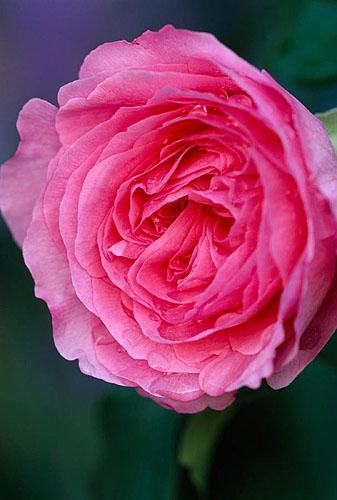 Rose Gertrude Jekyll In Angel Collins' Garden