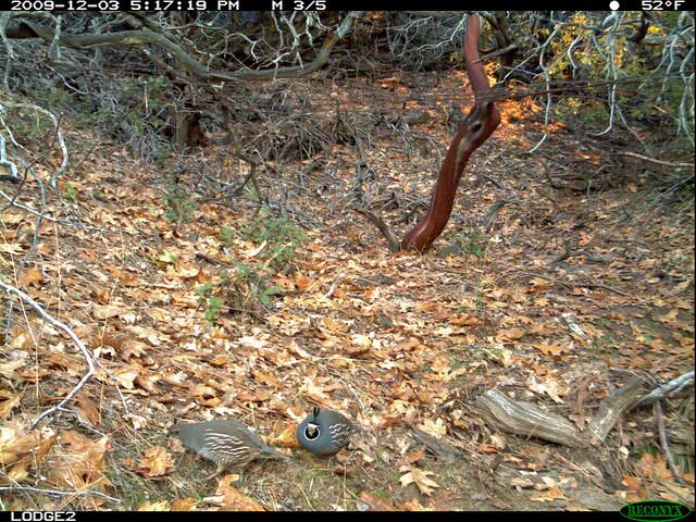 cal quail couple