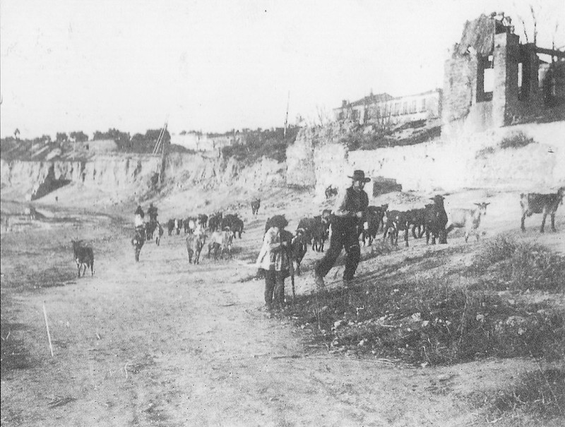 Ganado en Buenavista hacia 1900. Río chico.