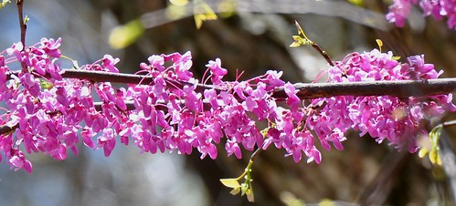 Eastern Redbud Tree | by bobosh_t