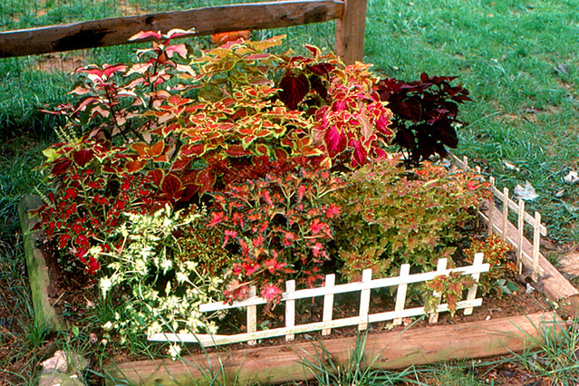 Annandale Coleus Garden I Learned To Like Coleus In Peor Flickr
