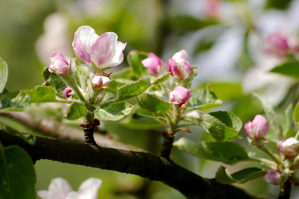 Kwiat jabłoni / Apple flower