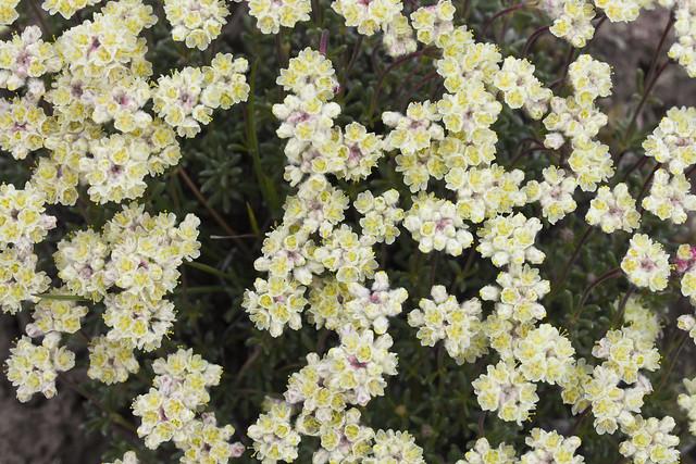 Thyme-leaf Buckwheat, Eriogonum thymoides