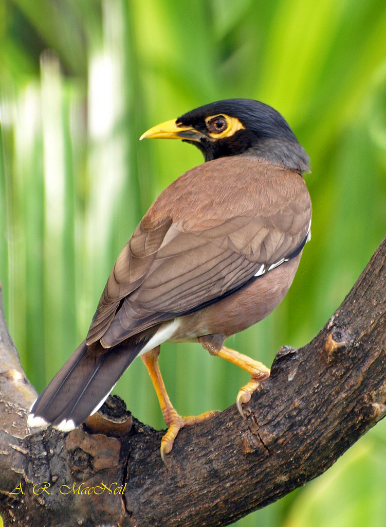Cooling Off 4 - Maui, Hawaii | This myna bird is high and ... - photo#18