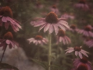 Echinacea   by Cat Sidh