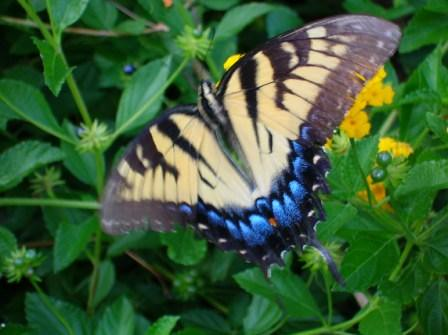Female Tiger Swallowtail-SC State Butterfly