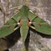 Eumorpha labruscae - Photo (c) Gabriel Kamener, alguns direitos reservados (CC BY-NC-SA)