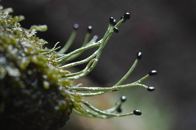 Pilophorus acicularis