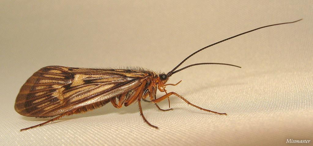 Potamophylax | Aquatic insect, Trichoptera, genus Potamophyl… | Flickr