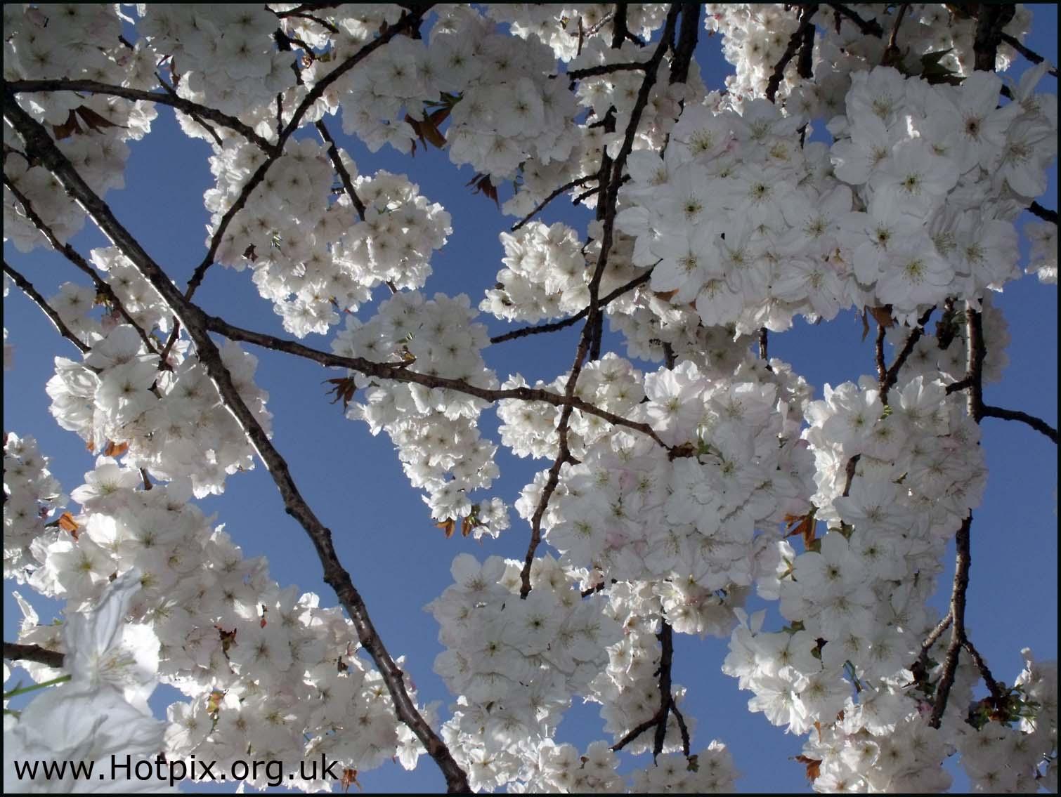 apple,tree,shrub,blossom,flower,sakura,white,blue,sky,poloriser,polariser,spring,bright,fresh,new,cheshire,rudheath,northwich,uk,united,kingdom,england,britain,nature,HDR,photomatix,hotpix!