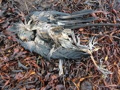 A Dead Crow on Sea-weed