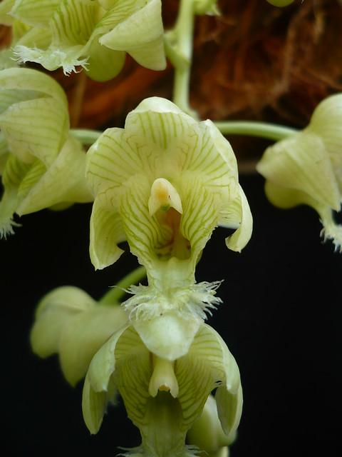 Clowesia warszewiczii