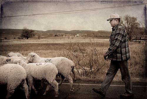 ranch rural colorado sheep shepherd flock inpassing deltacounty westernslope ghostworks skeletalmess rogersmesa