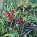 Castilleja pumila (Benth.) Wedd. ex F.L. Herrera