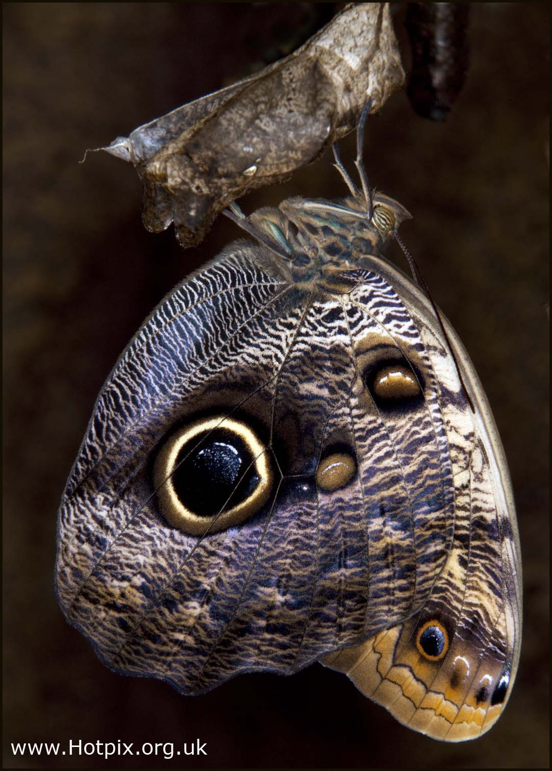 Blue,Morpho,Butterfly,Emerging,Chrysalis,wings,eye,pupa,macro,bellows,close,up,closeup,mexico,central,america,hotpix,hotpixuk,tonysmith,tony,smith,pupae,bluemorpho