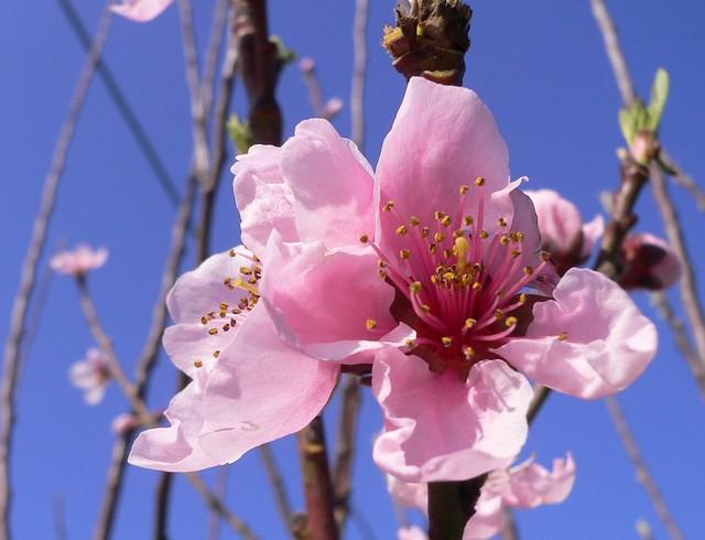 Fiori Pesco.Fiori Di Pesco Peach Flowers The Peach Prunus Persica Flickr