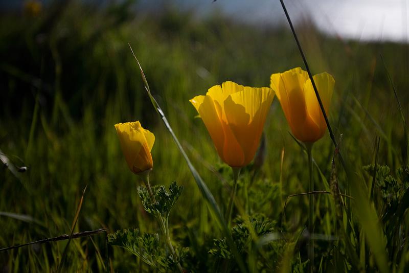 Poppies by AlwaysJanuary (Randy)