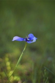 Blue Wildflower