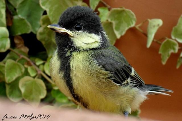 SDC10412 La piccola Cinciallegra. 1° giorno fuori dal nido! Tutto il mondo da scoprire!