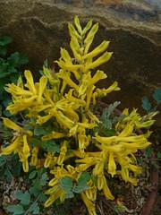 Corydalis wilsonii   by brianpettinger